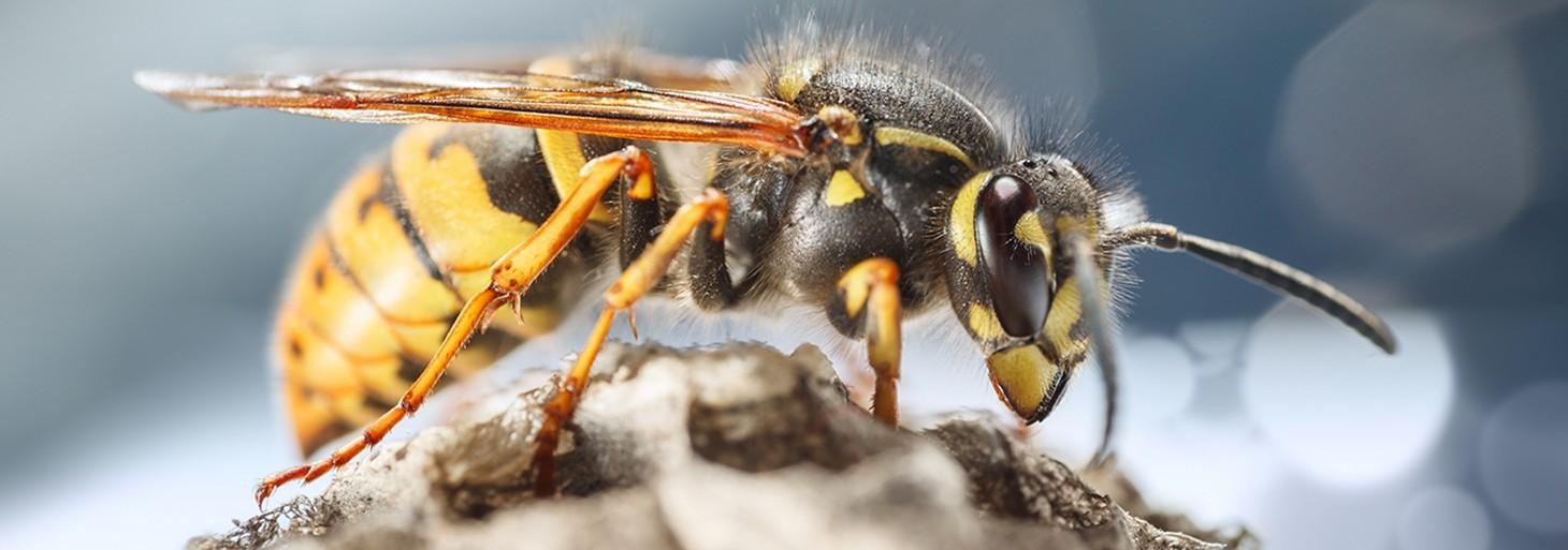 Insecticide et autres produits professionnels contre les Guêpes, Frelons Européens et Frelons Asiatiques