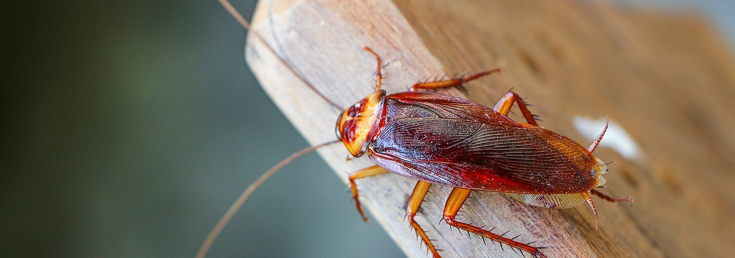 Traitement insecticide contre toutes les insectes rampants  (Blattes - Cafards )